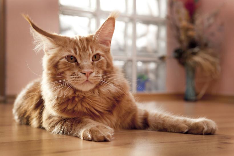 Кошка Мейн-кун