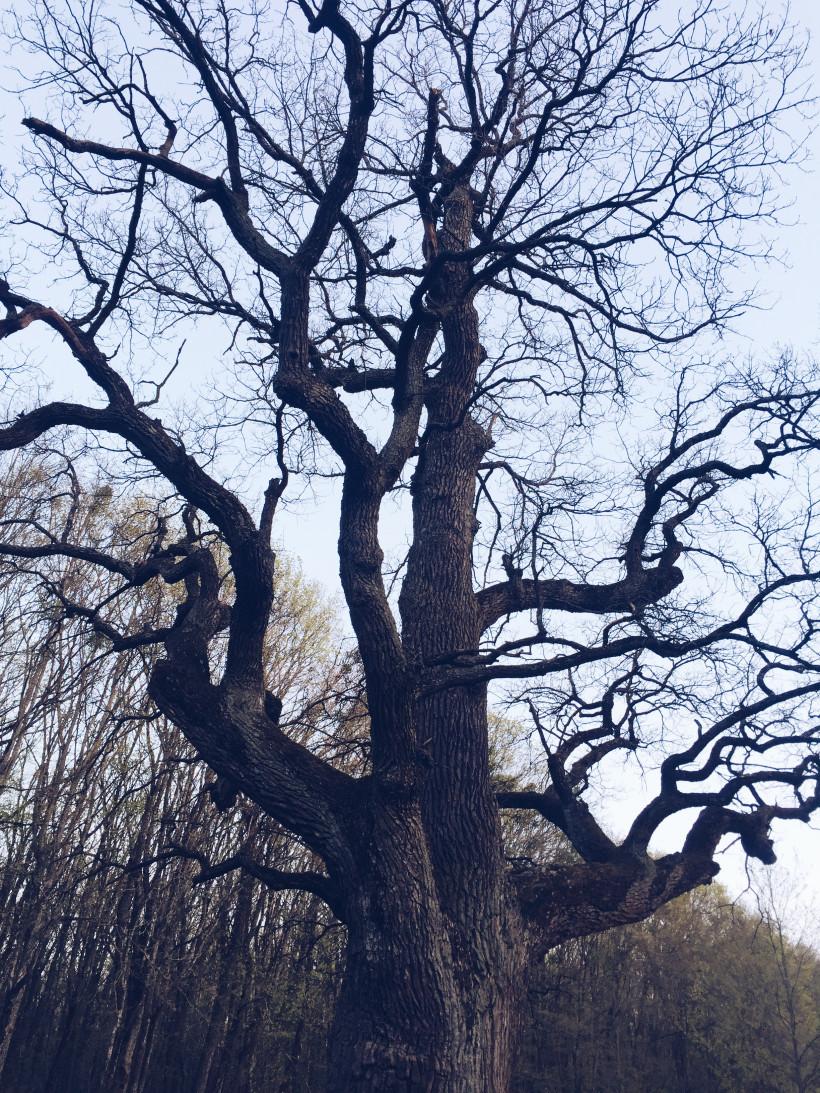 Кочубеевский дуб