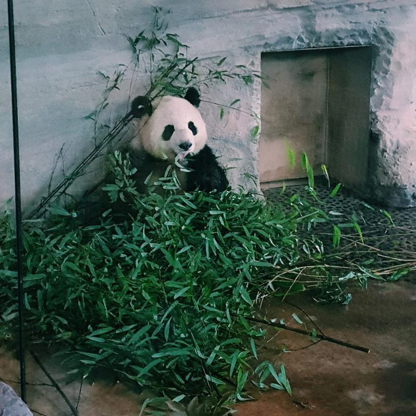 Панда ест в зоопарке Берлин