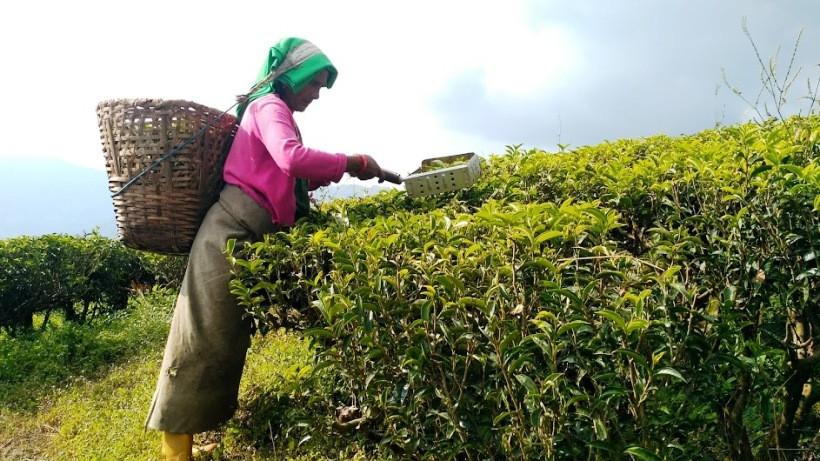 чайная плантация Непала